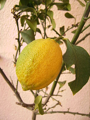 English: Lemom fruit in the lemon tree (Barcel...