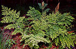 Osmunda regalis, a royal fern