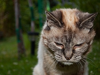 English: A 20-year-old cat that looks tired be...