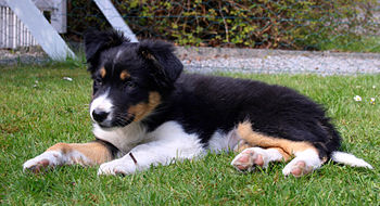 English: Female Border collie puppy, about 9 w...