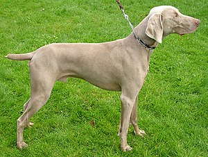 The Weimaraner's coat color led to its nicknam...