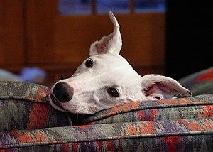 A white Greyhound puppy.