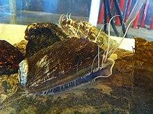 Abalone Simple English Wikipedia The Free Encyclopedia