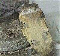 Yetişkin bir erkek kral kobra