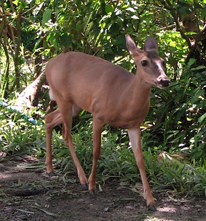 English: Central American White-tailed Deer (O...