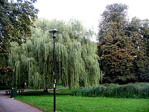 English: Willow Tree - Glebe Gardens