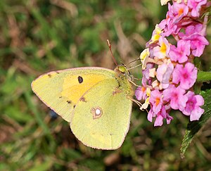 Clouded Yellow butterfly (Calias crocea)