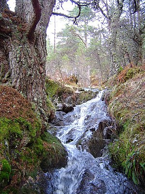Caledonian Pine forest and stream near Loch an...