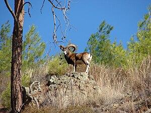 English: Photo of a male wild Cyprus mouflon