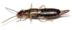 Earwig on white background.jpg