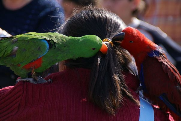 File:Eclectus roratus -pets on shoulder-8a.jpg