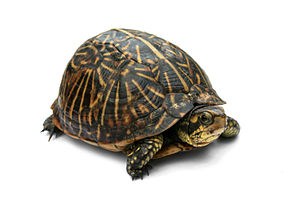 Photo of a Florida Box Turtle (Terrapene carol...
