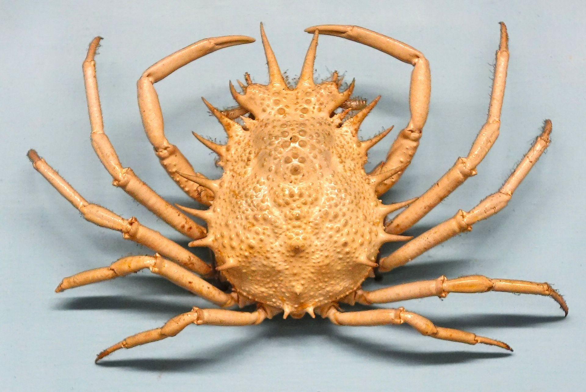 Kleine Seespinne Wikipedia