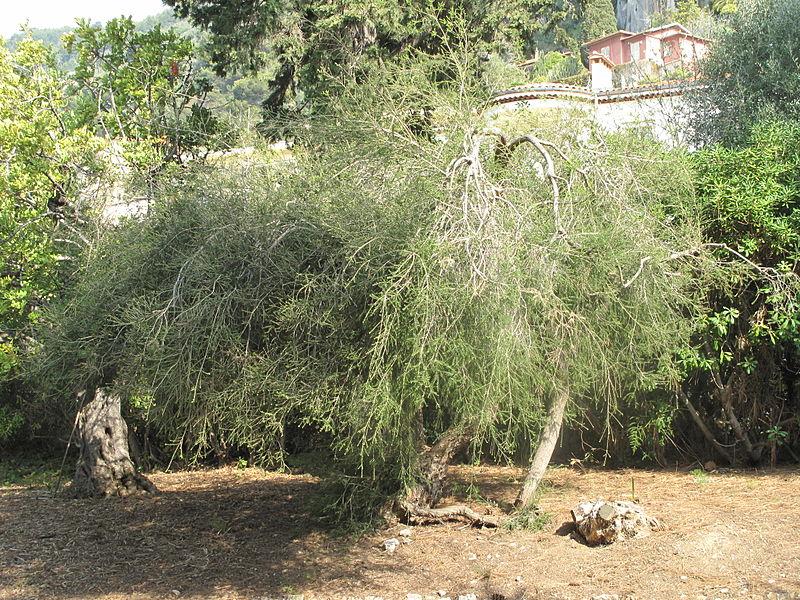 File:Melaleuca alternifolia (Maria Serena).jpg