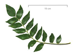 Curry leaves. Their taste differs vastly from ...