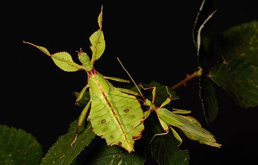 Phyllium Philippinicum (Male and Female)