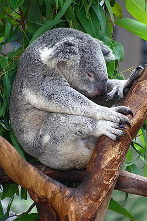 Koala sleeping on a tree top