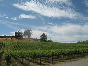 Grape vines in the California wine region of t...