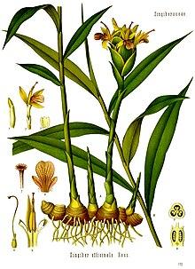Zingiber officinale - Köhler–s Medizinal-Pflanzen-146.jpg