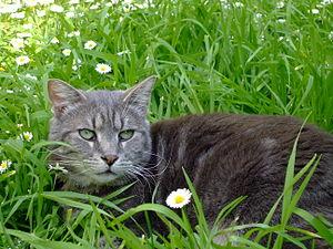 Chat Tabby s'amusant dans l'herbe
