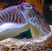 Close up of a cuttlefish head, showing the wel...