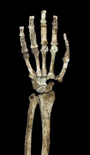 English: The hand and forearm of Australopithe...