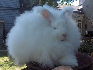 Joey, Giant Angora Rabbit Buck