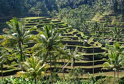 Lahan sawah di Bali
