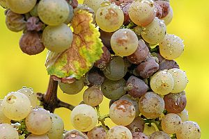 A bunch of Riesling grapes after the onset of ...