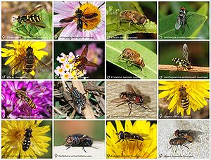 A poster of flies (Diptera)