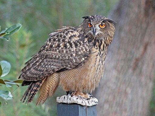 https://i1.wp.com/upload.wikimedia.org/wikipedia/commons/thumb/3/36/Eurasian_Eagle-Owl_RWD.jpg/512px-Eurasian_Eagle-Owl_RWD.jpg