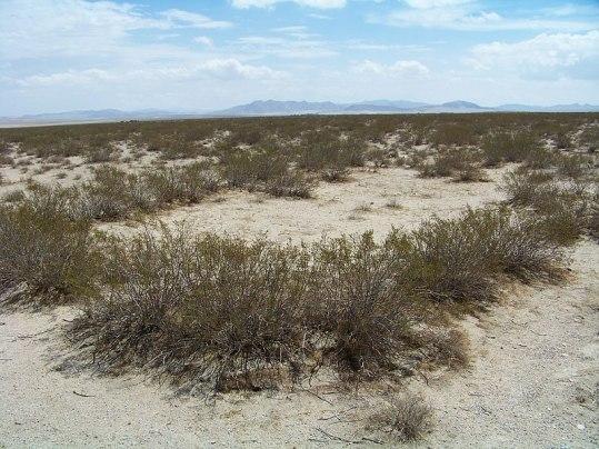 Creosote bush, Mojave Desert