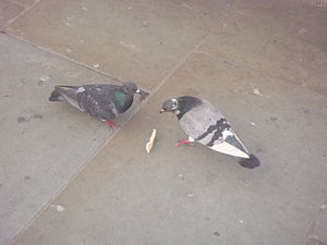 English: Pigeons eating at St. James's Park, L...