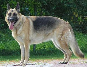 Ein guter DEUTSCHER Hund