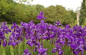 Siberian Iris Iris sibirica Flowers 3008px