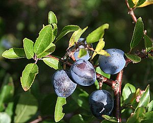 Sloes (Prunus spinosa) Sloes are the fruit of ...