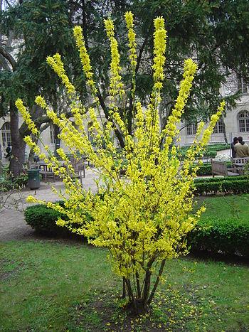 A Forsythia shrub