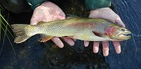 Yellowstone Cutthroat Trout.jpg
