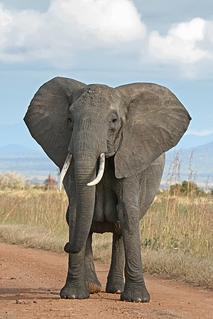 English: A female African Bush Elephant in Mik...