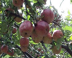 English: Nepali apple