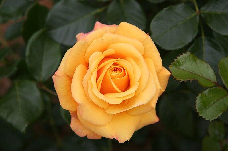 File:Rose Amber Flush 20070601.jpg