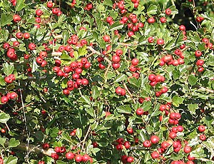 English: Shiny haws in Bulley Lane That remind...