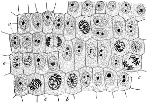 Cromosoma  Wikipedia, la enciclopedia libre