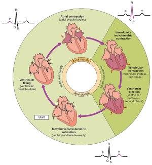 Cardiac cycle  Wikipedia