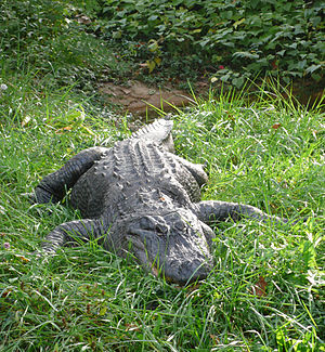 American Alligator, (Alligator mississippiensis)
