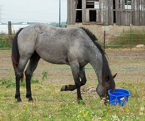 Blue Roan Quarter horse