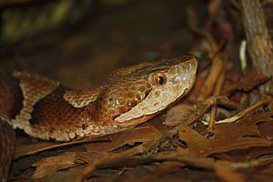English: Copperhead Agkistrodon contortrix mok...