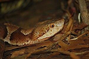 English: Copperhead Agkistrodon contortrix mok...