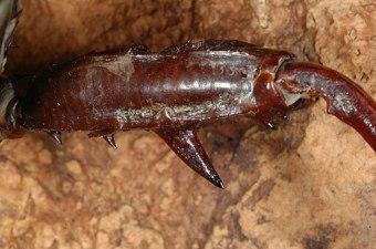 Eurycantha spp.