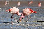 Flamingos Laguna Colorada.jpg